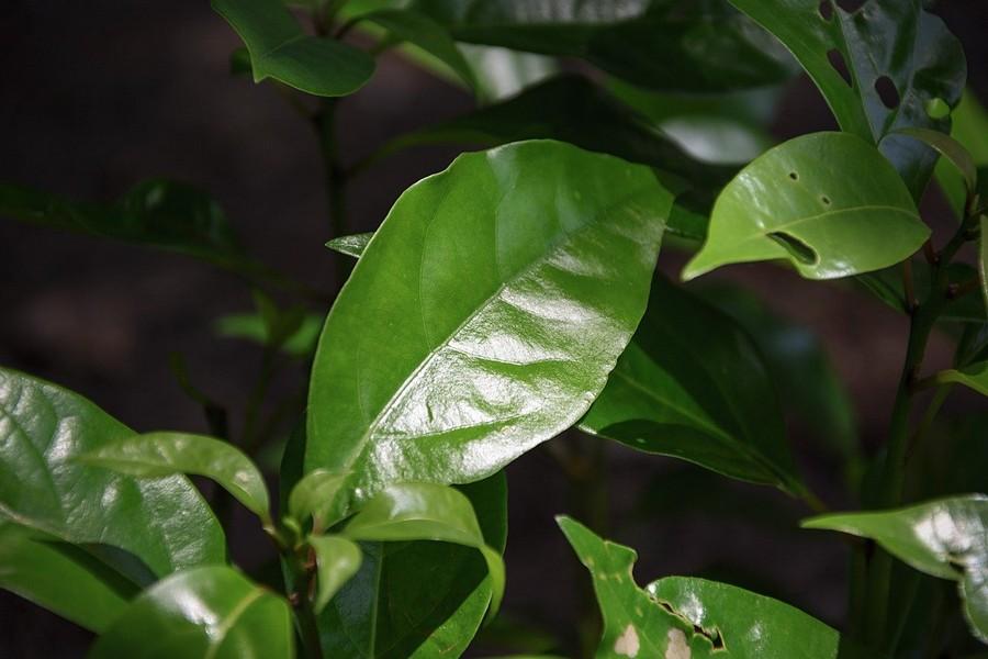 feuilles de camphre